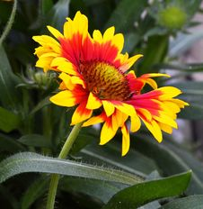 Free Flower, Plant, Blanket Flowers, Flora Royalty Free Stock Images - 100381989