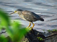 Free Bird, Ecosystem, Beak, Green Heron Stock Images - 100382004