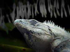 Free Reptile, Fauna, Iguana, Scaled Reptile Stock Images - 100382064