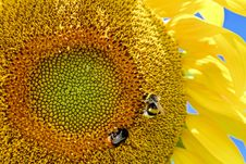Free Sunflower, Yellow, Honey Bee, Bee Stock Photos - 100382843