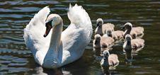 Free Bird, Water Bird, Swan, Ducks Geese And Swans Stock Image - 100382991