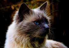 Free Cat, Whiskers, Mammal, Small To Medium Sized Cats Stock Image - 100383121