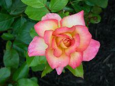 Free Flower, Rose, Rose Family, Pink Stock Image - 100383281