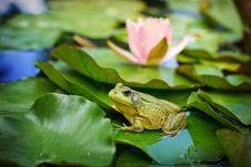 Free Frog, Amphibian, Leaf, Ranidae Royalty Free Stock Photography - 100383597