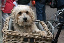 Free Dog, Dog Like Mammal, Dog Breed, Sapsali Royalty Free Stock Photos - 100383798