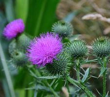 Free Thistle, Silybum, Plant, Noxious Weed Royalty Free Stock Photo - 100383905