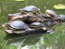 Free Turtle, Emydidae, Reptile, Tortoise Royalty Free Stock Photography - 100383927