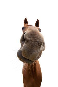 Free Horse, Nose, Horse Like Mammal, Mane Stock Photos - 100383933