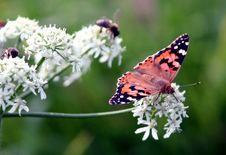 Free Butterfly, Moths And Butterflies, Insect, Brush Footed Butterfly Royalty Free Stock Photography - 100384257