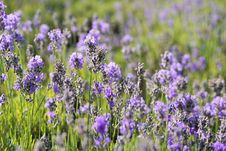 Free Flower, English Lavender, Lavender, Plant Royalty Free Stock Photos - 100387688