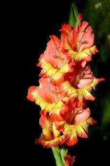 Free Flower, Flowering Plant, Plant, Gladiolus Royalty Free Stock Photo - 100387805