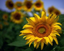 Free Flower, Sunflower, Yellow, Sunflower Seed Royalty Free Stock Image - 100388026