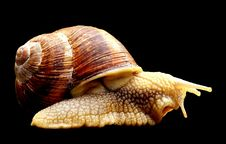Free Snails And Slugs, Molluscs, Conchology, Snail Royalty Free Stock Images - 100388049