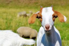 Free Goats, Goat, Fauna, Cow Goat Family Stock Image - 100399071