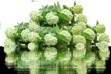Free Flower, Plant, Viburnum, Hydrangea Royalty Free Stock Images - 100399259