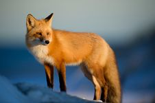 Free Fox, Red Fox, Wildlife, Mammal Stock Photo - 100399440