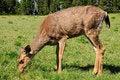 Free Deer Feeding On Grass Stock Photos - 10041393