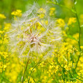 Free Dandelion Stock Photo - 10046960