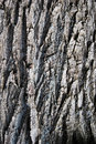 Free Oak Bark Royalty Free Stock Images - 10048439