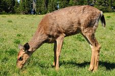 Free Deer Feeding On Grass Stock Photos - 10041393
