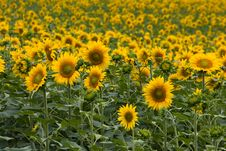 Free Field Of Sunflowers Stock Photos - 10041793