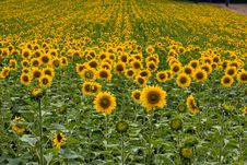 Free Sunflowers Stock Photography - 10042032
