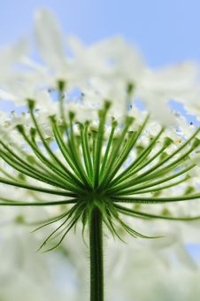 Free Heracleum Royalty Free Stock Images - 10043079