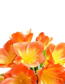 Free Clivia On White Royalty Free Stock Photography - 10043237