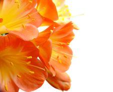Clivia Closeup Royalty Free Stock Photo