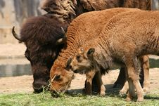 Free Bison Family Stock Image - 10043291