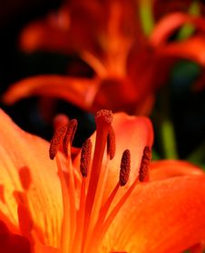 Free Two Red Lily Royalty Free Stock Image - 10043316