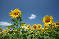 Free Sunflowers Royalty Free Stock Photo - 10044405