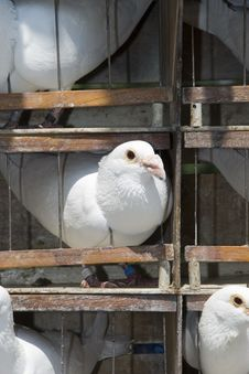 Cage With White Pigeons Stock Photo