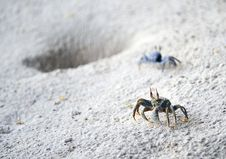 Free Horned Ghost Crabs On Beach Stock Images - 10044594
