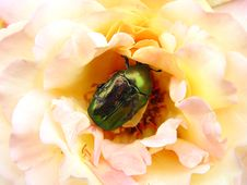 Free May-bug Royalty Free Stock Photography - 10045147
