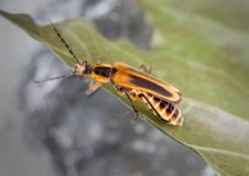 Free Soldier Beetle Stock Images - 10045654