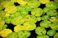 Green Lilypads Stock Image