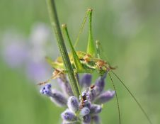Free Small Grasshopper Royalty Free Stock Photos - 10046138