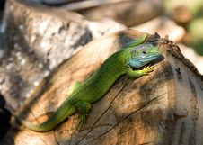 Free Royal Lizard Royalty Free Stock Photos - 10046148