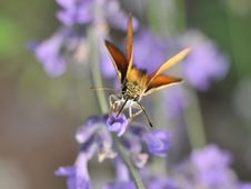 Free Butterfly On Lavender Stock Photography - 10046162