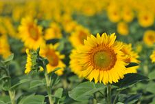 Free Field Of Sunflowers Stock Images - 10046184