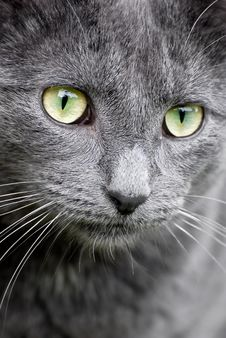 Free Grey Cat Close-up Stock Photography - 10046302