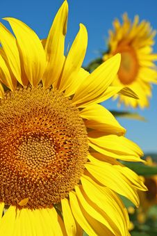 Free Sunflower Royalty Free Stock Images - 10046439