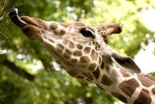 Free African Giraffe Royalty Free Stock Photos - 10046888