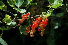 Unripe Red Currants Stock Images