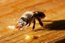 Free Bee And Honey Royalty Free Stock Photos - 10047498