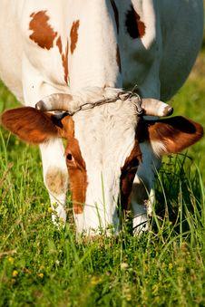 Free Cow Head Stock Photo - 10047560