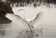 Free Bird, Great Egret, Beak, Egret Stock Images - 100400134