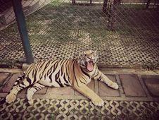Free Tiger Roar Animal Stock Image - 100474431