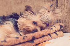 Free Yorkie Yorkshire Terrier Dog Royalty Free Stock Image - 100474496